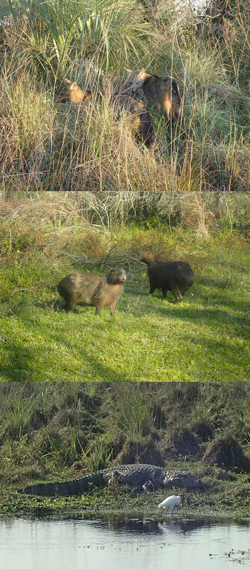 Photographies de renards, capybaras et caimans.